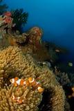 Anemone fishes Indonesia Sulawesi. Anemone fishes on reef. Indonesia Sulawesi Lembehstreet Stock Image