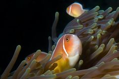 Anemone fishes Nemo Indonesia Sulawesi. Anemonefishes, clownfishes in anemone. Indonesia Royalty Free Stock Photography
