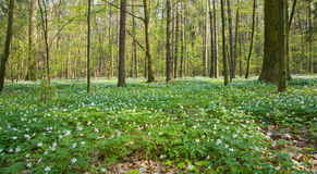 Anemone floral bed at deciduous forest Stock Image