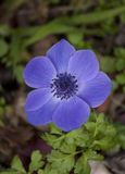 Anemone Flower Foto de Stock Royalty Free