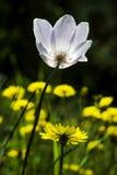 Anemone Flower Royaltyfri Bild