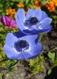 Anemone Flower Lizenzfreies Stockbild
