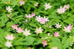 Anemone Flower Lizenzfreie Stockbilder
