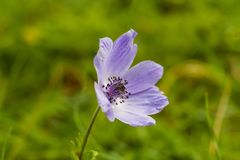 Anemone flower from above. The appearance of a Lila-colored anemone flower from above royalty free stock images