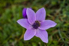 Anemone flower from above. The appearance of a Lila-colored anemone flower from above royalty free stock image