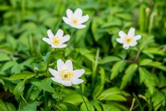 Anemone flower bloom in april. Beautiful white petals on the background of green leaves stock photography