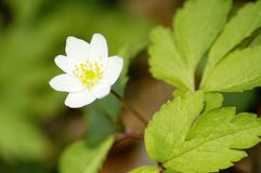 Anemone flower bloom Royalty Free Stock Photos