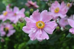 Pink Anemone flower garden with dark green leaves in the background. Anemone flower blooming in the gardens at Highland Park, Rochester, New York in the summer royalty free stock photos