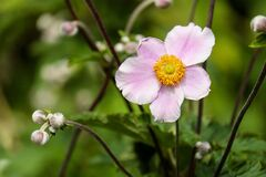 Anemone, Flower, Blossom, Bloom Stock Image