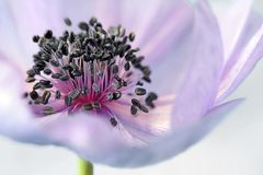 Anemone, Flower, Blossom, Bloom Royalty Free Stock Photo