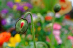Poppy flower bud before bursting in spring garden Stock Photo
