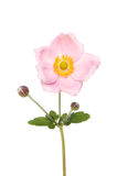 Anemone Royalty Free Stock Image
