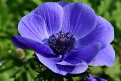 Anemone Flower fotografia stock