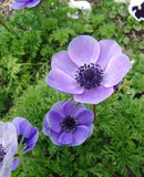 Anemone flower Stock Images