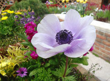 Anemone flower Stock Photography