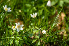 Anemone flower on the forest floor Royalty Free Stock Photos