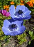 Anemone flower. Image of blue a anemone flower Royalty Free Stock Image