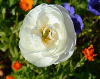 Anemone flower. Image of white a anemone flower Royalty Free Stock Photo