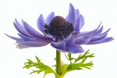 Purple anemone flower   isolated on white background. Anemone flower isolated on white background royalty free stock images