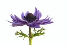 Purple anemone flower   isolated on white background. Anemone flower isolated on white background stock photo
