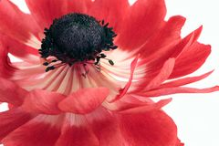 Red anemone flower isolated on white background. Anemone flower isolated on white background stock image