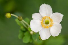 Anemone flower Royalty Free Stock Photography
