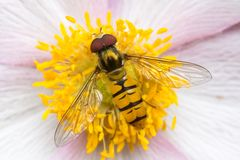 Anemone flower. PInk Anemone flower with a hoverfly royalty free stock photography