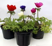 Anemone flower in plant pots Stock Photo
