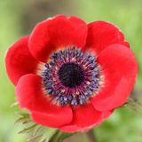 Anemone flower. Stock Image