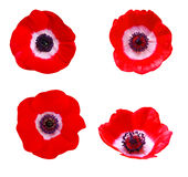 Anemone flower Royalty Free Stock Images