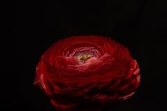 Anemone Flower rouge photo libre de droits