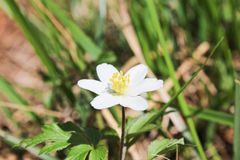 Anemone flower from side. With blured background stock photography