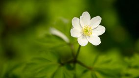 Anemone flower in spring stock footage