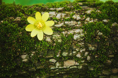 Anemone flower on the tree bark Royalty Free Stock Photography