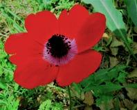 Anemone Flower vermelha fotografia de stock royalty free