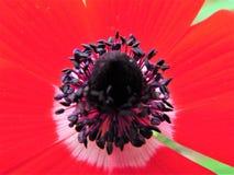 Anemone Flower vermelha imagens de stock