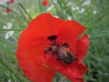 Anemone Flower vermelha fotografia de stock