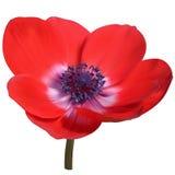 Anemone Flower vermelha Fotos de Stock