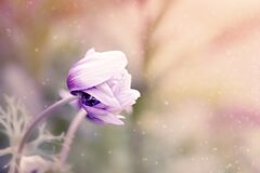 Anemone, Flower, Violet-White Royalty Free Stock Image