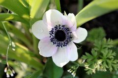 Anemone flower, white with purple amidst green plants. Spring wildflower, anemone, top view Stock Image