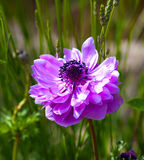 Anemone flowering plants in the garten, family Ranunculaceae Stock Photography