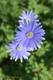 Anemone Flowers blu Fotografie Stock