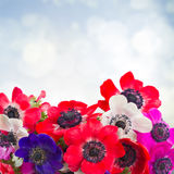 Anemone flowers on blue Stock Photography