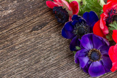 Anemone flowers Stock Photography