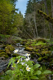 Anemone flowers in forest Royalty Free Stock Photo
