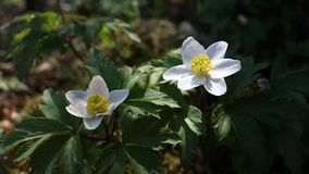 Anemone flowers in forest stock video footage