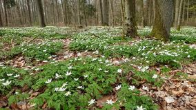Anemone flowers in the forest in spring stock video footage