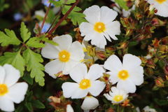 Anemone flowers in a garden Royalty Free Stock Photo