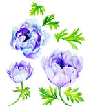 Anemone flowers Stock Photography