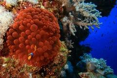 Anemone fluorescente Immagini Stock